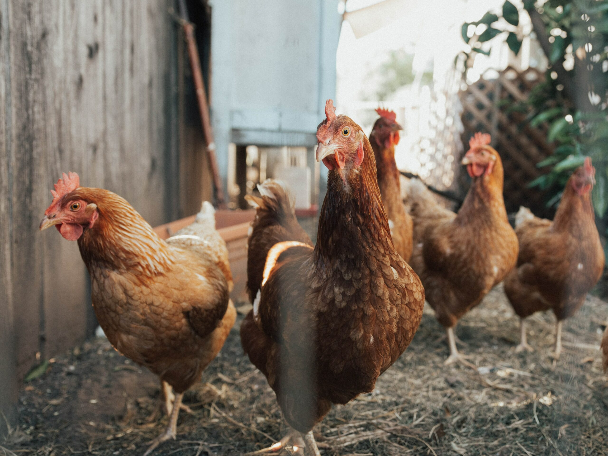 Avoir des poules : guide pratique !